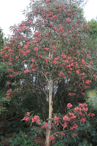 Eucalyptus leucoxylon subsp. megalocarpa Eucaly10