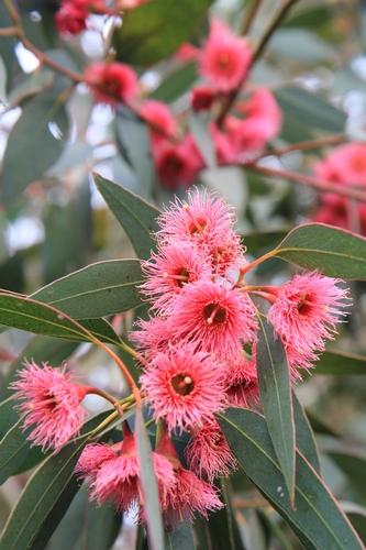 Eucalyptus leucoxylon subsp. megalocarpa Eucaly12