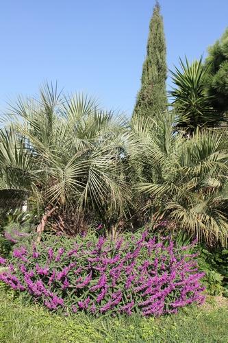 Salvia leucantha 'Purple Velvet'  Salvia12