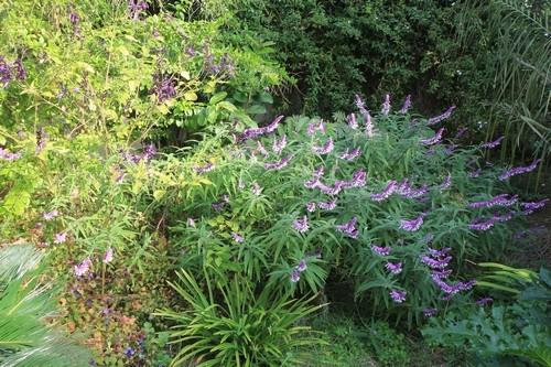 Salvia leucantha Salvia13