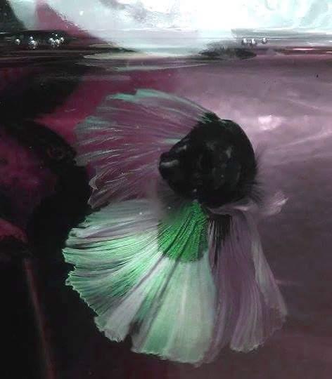 Wasabi le HM vert Receiv10