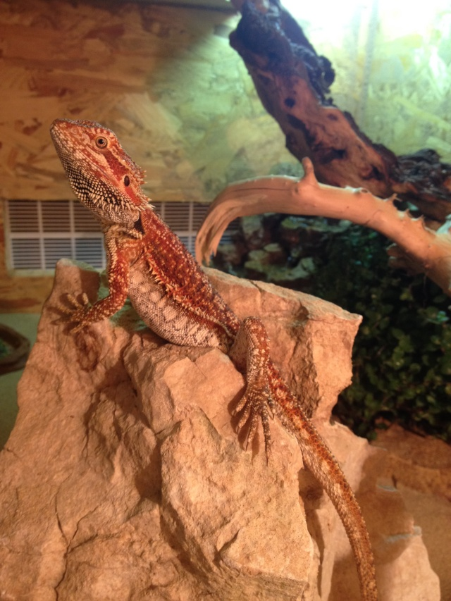 Ma famille de reptiles ! Img_4210