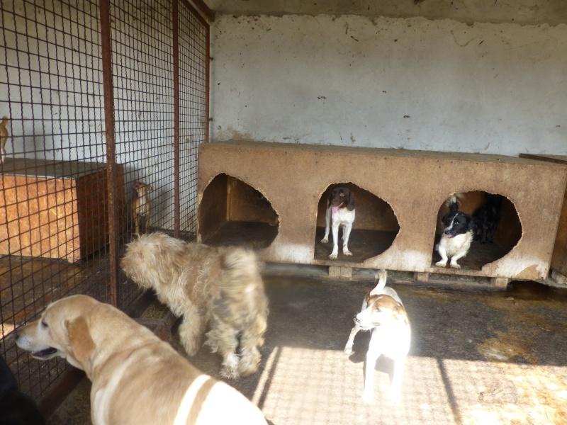 chien82 - CHIEN82, M-labrador, né ?, taille moyenne (Fourrière BACKA) - URGENT 1st_bo11