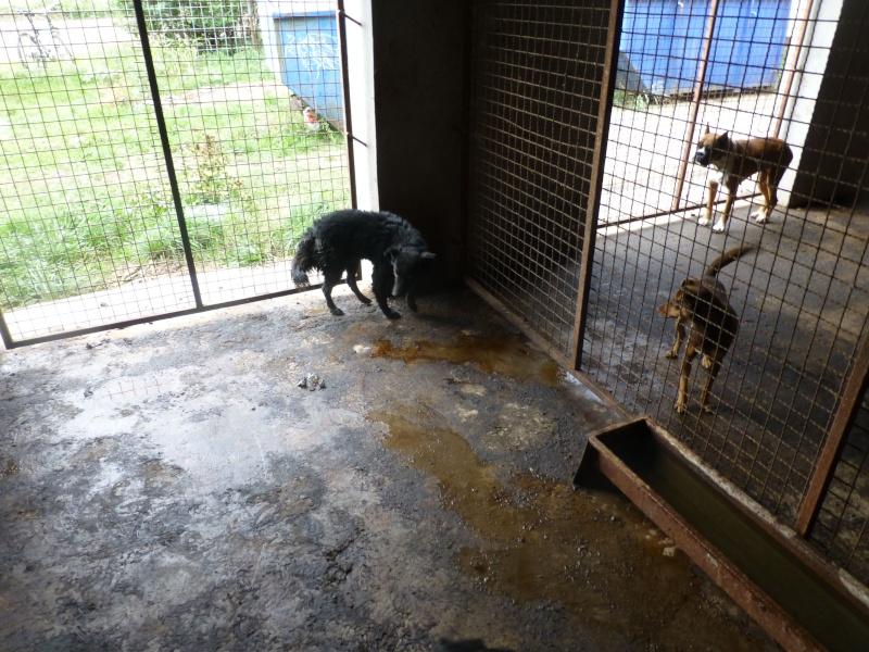 chien89 - SHAMTI, F-Type Mudi, taille moyenne, 15 kg, née 2012 (BACKA) Pris en charge SPA DU 47 8910