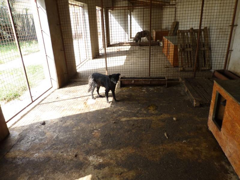 chien89 - SHAMTI, F-Type Mudi, taille moyenne, 15 kg, née 2012 (BACKA) Pris en charge SPA DU 47 Black_10