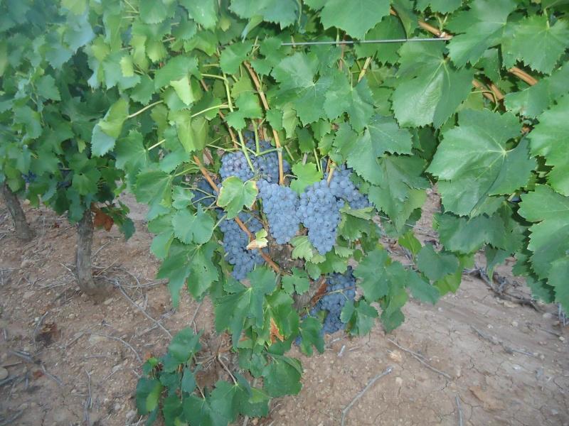 Avez-vous une vigne ? Dsc06313