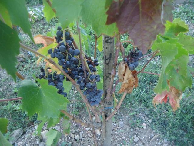 Avez-vous une vigne ? Dsc06412