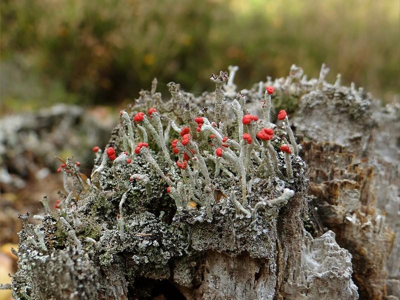 Sortie champignons sur le site gallo-romain de la Croix Guillaume (Saint-Quirin - Moselle) Dsc07912