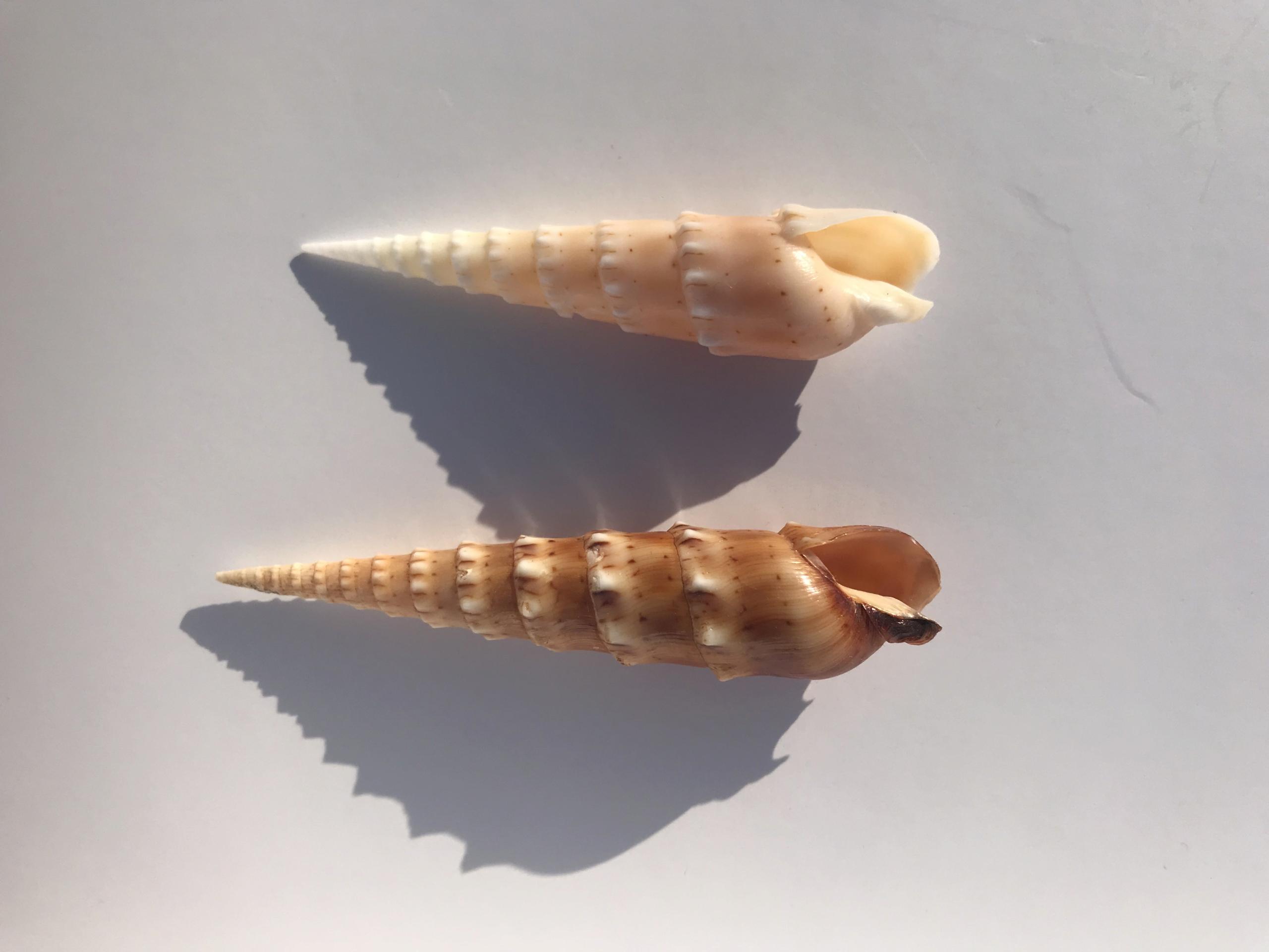 Oxymeris crenulata (Linnaeus, 1758) Img_4210
