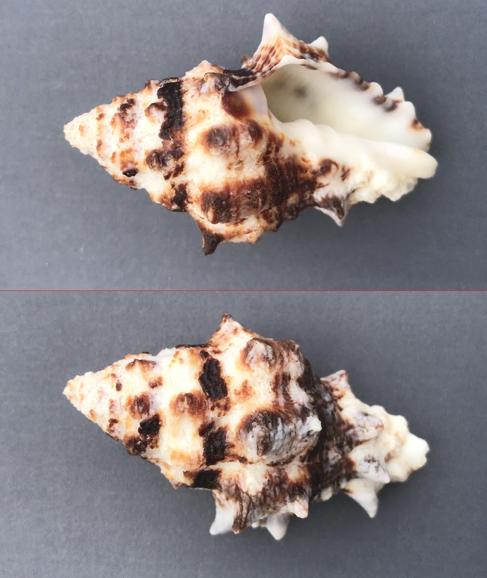 Vasum ceramicum - (Linnaeus, 1758) Muri210