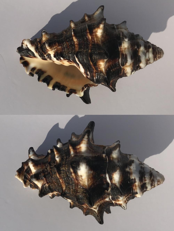 Vasum ceramicum - (Linnaeus, 1758) Murici10