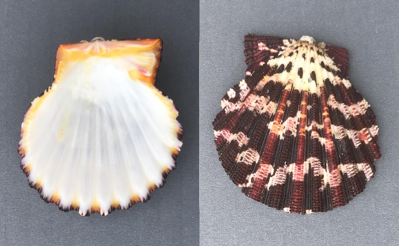 Gloripallium pallium (Linnaeus, 1758) Pectin10