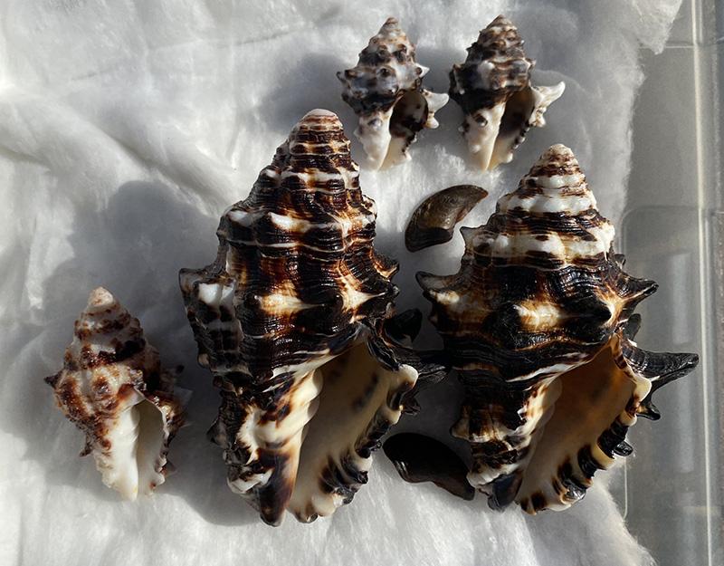 Vasum ceramicum - (Linnaeus, 1758) Vasum11
