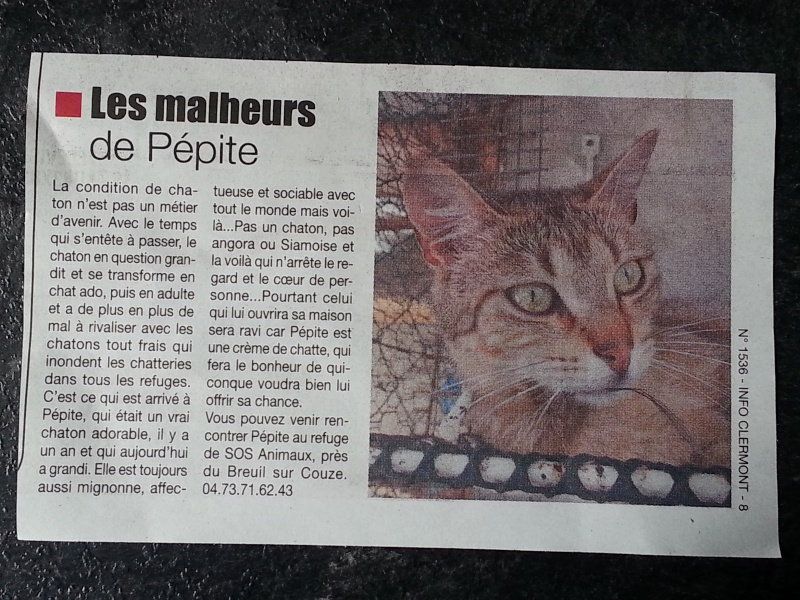 PEPITE (chatte femelle tigrée) 20150911
