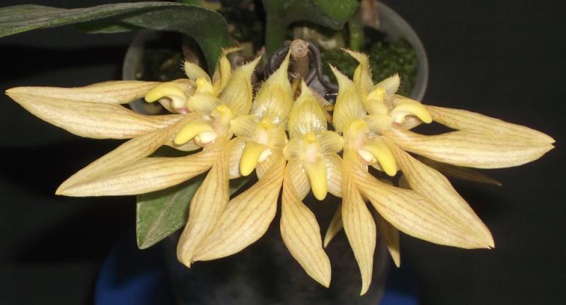 Bulbophyllum annandalei Bulbop14
