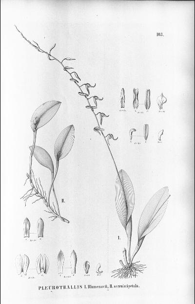 Pabstiella arcuata Aciant10