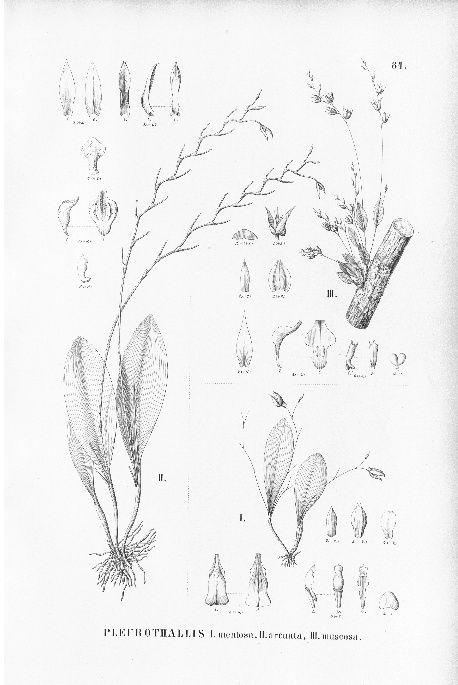 Pabstiella arcuata Arcuat10