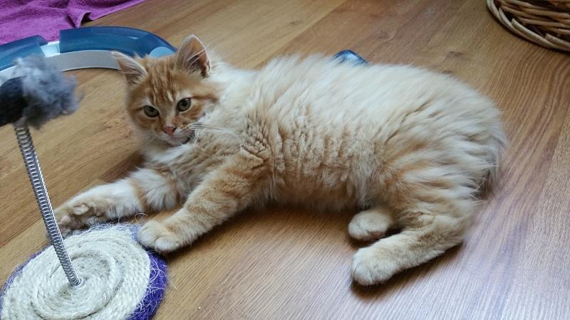 Loukoum, jeune male roux a poils longs né le 24/07/2015 20151023