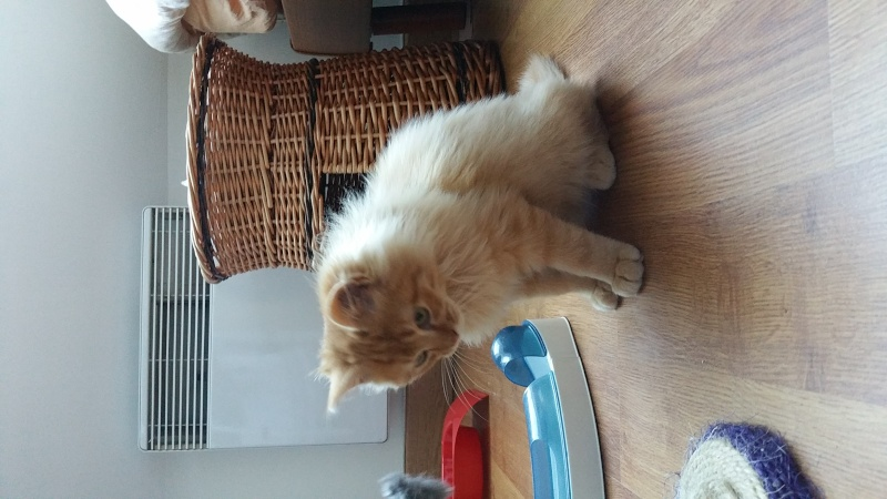 Loukoum, jeune male roux a poils longs né le 24/07/2015 20151025
