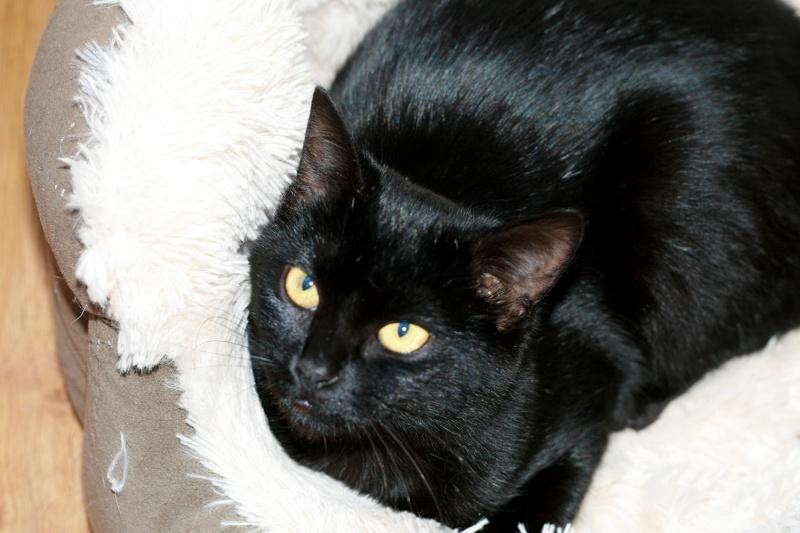 Lady, femelle type européen noire née le 1er mai 2015 Lady510