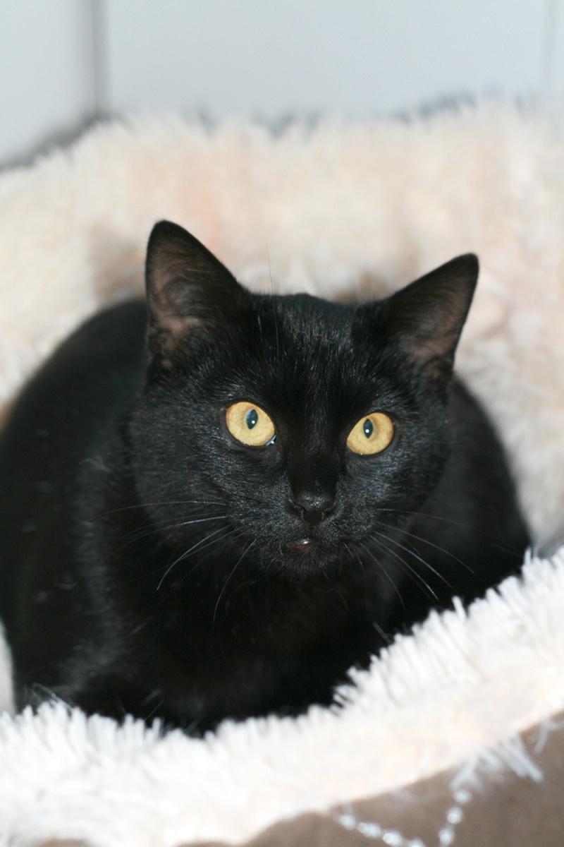 Lady, femelle type européen noire née le 1er mai 2015 Lady710