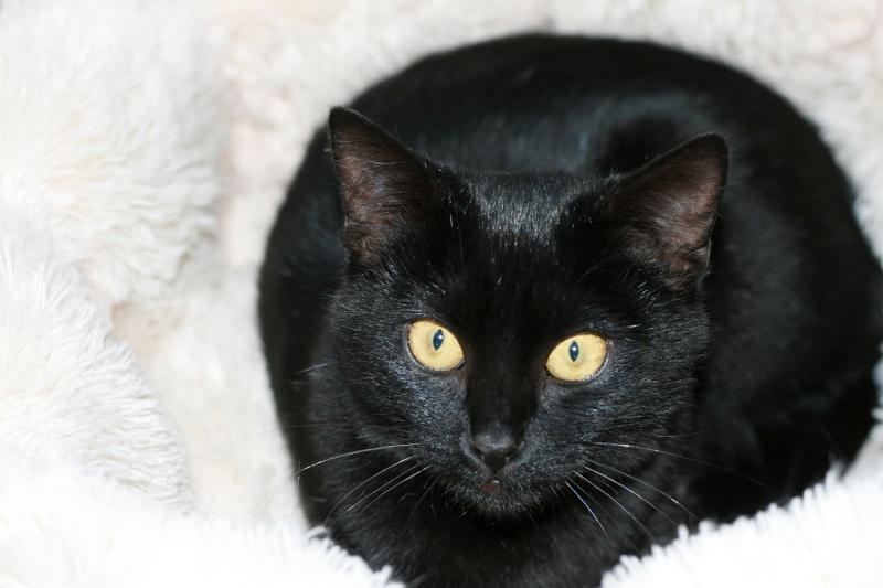 Lady, femelle type européen noire née le 1er mai 2015 Lady810