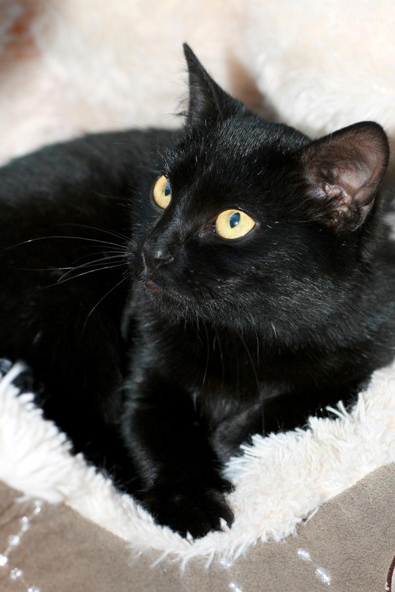 Lady, femelle type européen noire née le 1er mai 2015 Lady910
