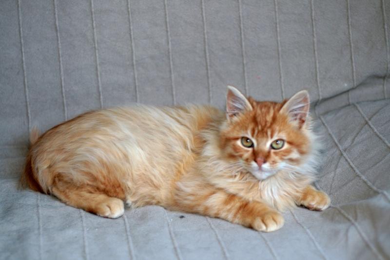 Loukoum, jeune male roux a poils longs né le 24/07/2015 Loukou10