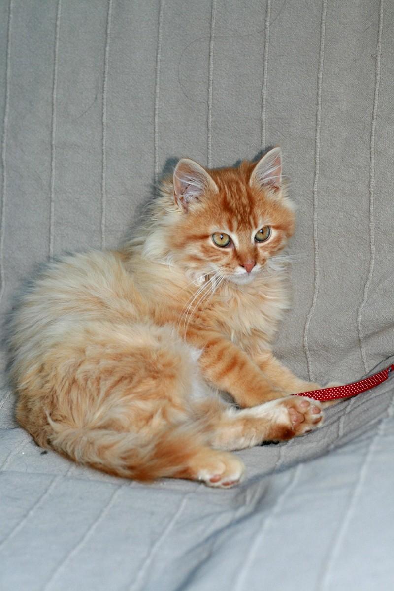 Loukoum, jeune male roux a poils longs né le 24/07/2015 Loukou11