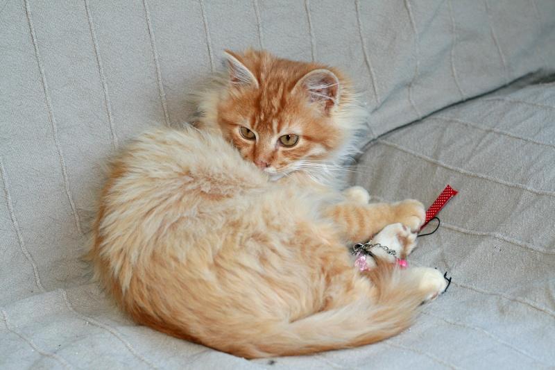 Loukoum, jeune male roux a poils longs né le 24/07/2015 Loukou13