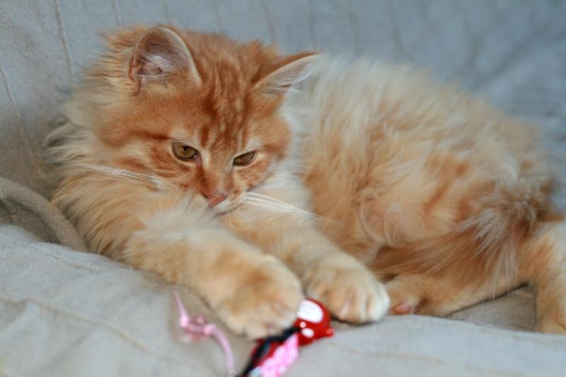 Loukoum, jeune male roux a poils longs né le 24/07/2015 Loukou15
