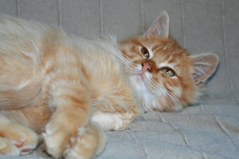 Loukoum, jeune male roux a poils longs né le 24/07/2015 Loukou17