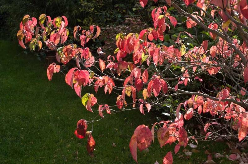 l'automne et ses couleurs Cornus10