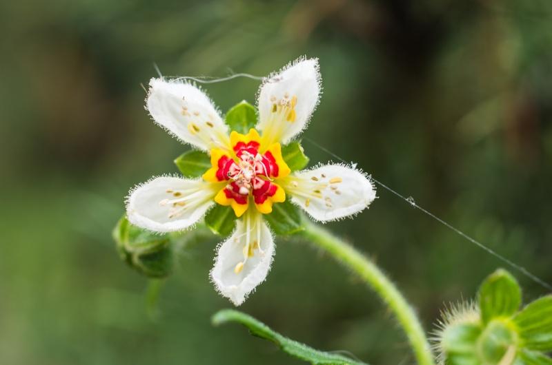 Loasa triphylla Loasa_10
