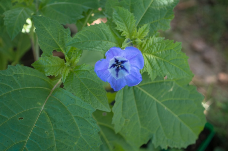 Nicandra physalodes Nicand12