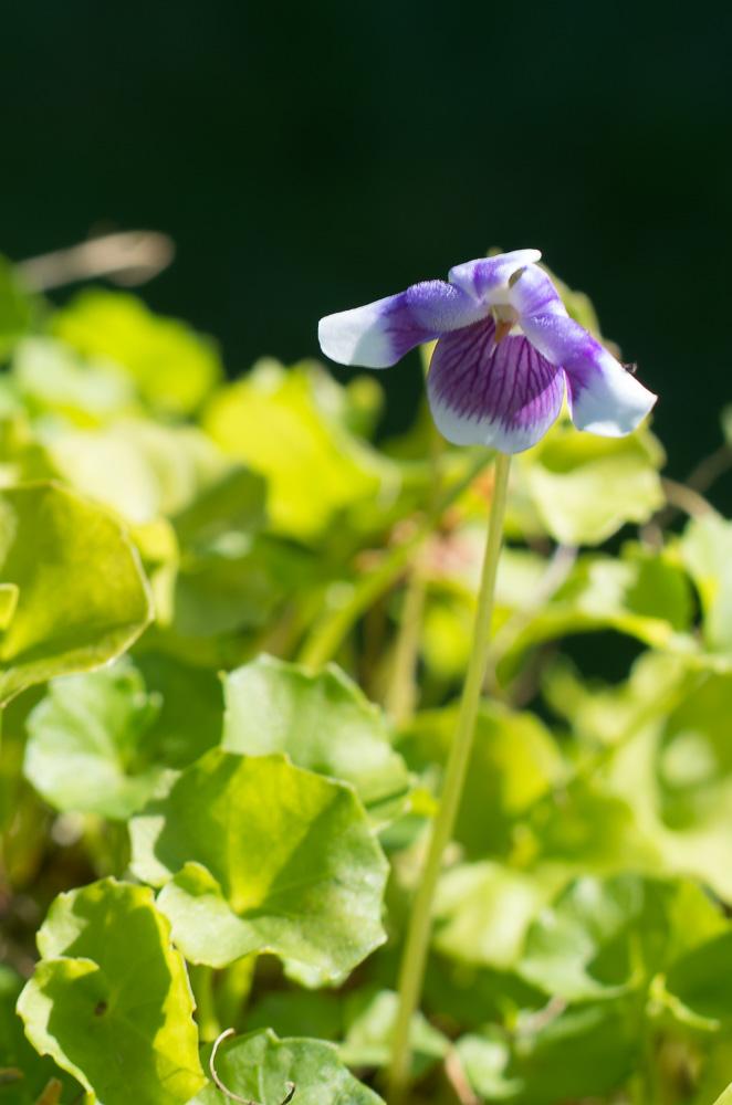 violettes Viola_10