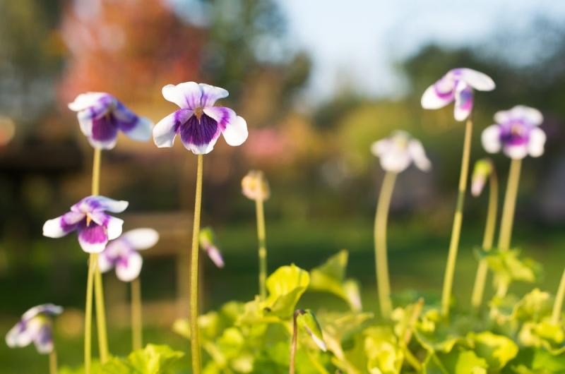 violettes Viola_11