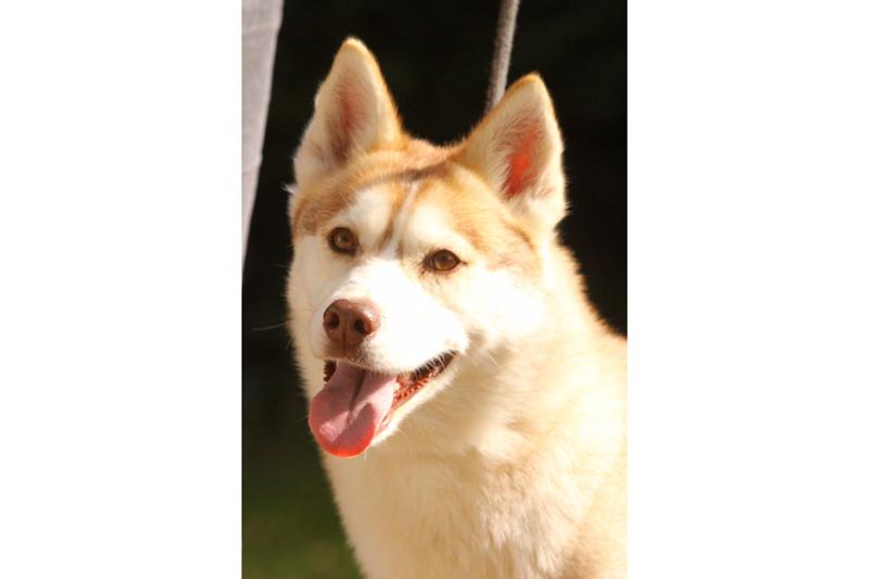 Magnifique et adorable femelle Husky 4 ans REFU24 00811