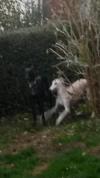 Negrito/Feïto doux galgo aux yeux tristes Scooby France Adopté - Page 5 20141110