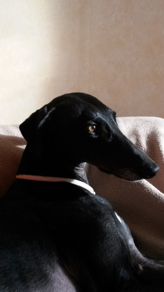 Negrito/Feïto doux galgo aux yeux tristes Scooby France Adopté - Page 5 20150310