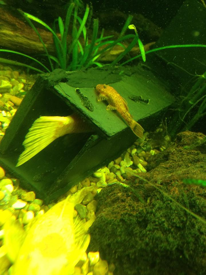 Bristlenose Has stopped growing? 11146110