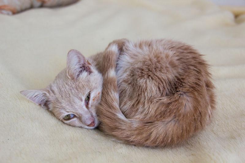 Caramel (anciennement Suna), femelle rousse type européen née en mars 2015 Img_2613