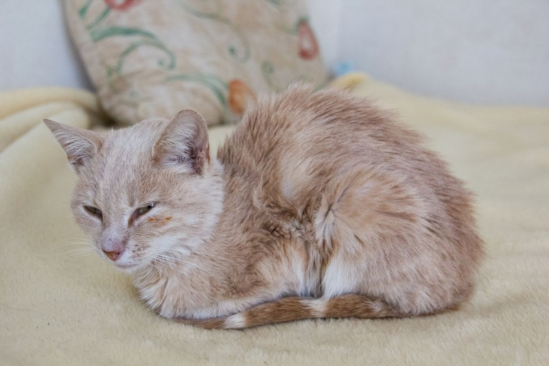 Caramel (anciennement Suna), femelle rousse type européen née en mars 2015 Img_2715