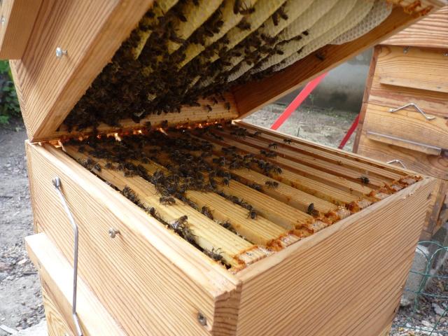 Chronique de mes abeilles P1330510