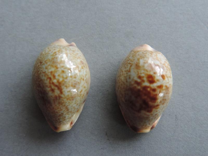 Erronea pallida - (J.E. Gray, 1824) Dscn7123
