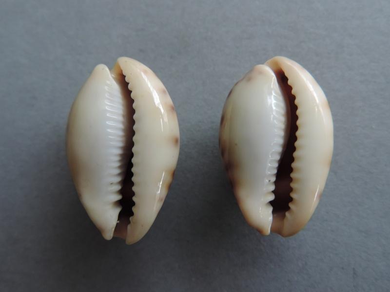 Erronea pallida - (J.E. Gray, 1824) Dscn7124
