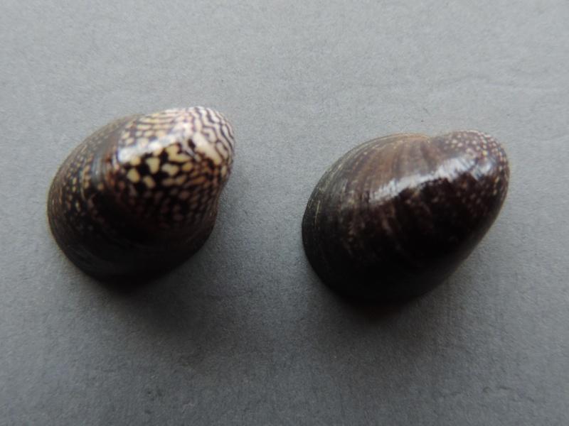 Neripteron violaceum - (Gmelin, 1791) Dscn7412
