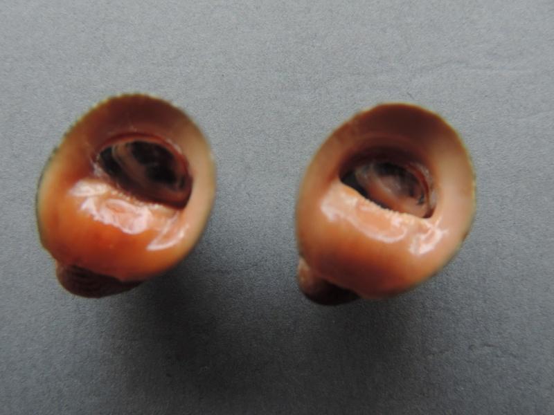 Neripteron violaceum - (Gmelin, 1791) Dscn7413