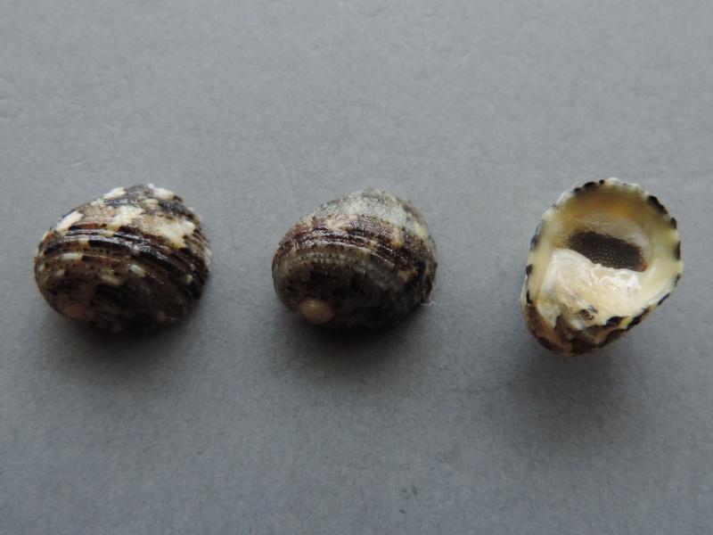 Nerita histrio - Linnaeus, 1758 Dscn7414
