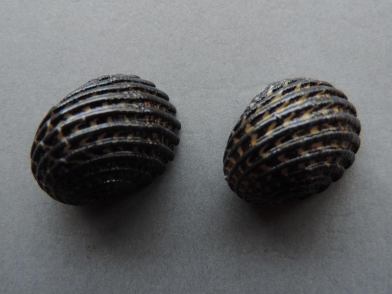 Nerita costata - Gmelin, 1791  Dscn7417